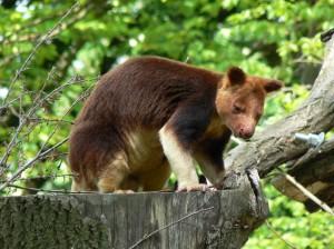 goodfellow's boom kangoeroe (© Helma van Dijk)