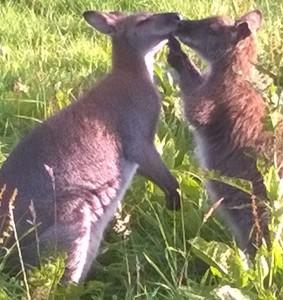 wallaby Gameren jotam(© Helma van Dijk)