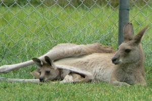 grijze reuzen kangoeroe met joey (© Helma van Dijk)
